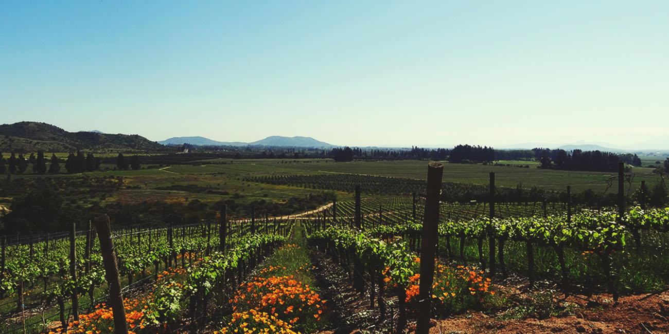 Los Vascos vineyards