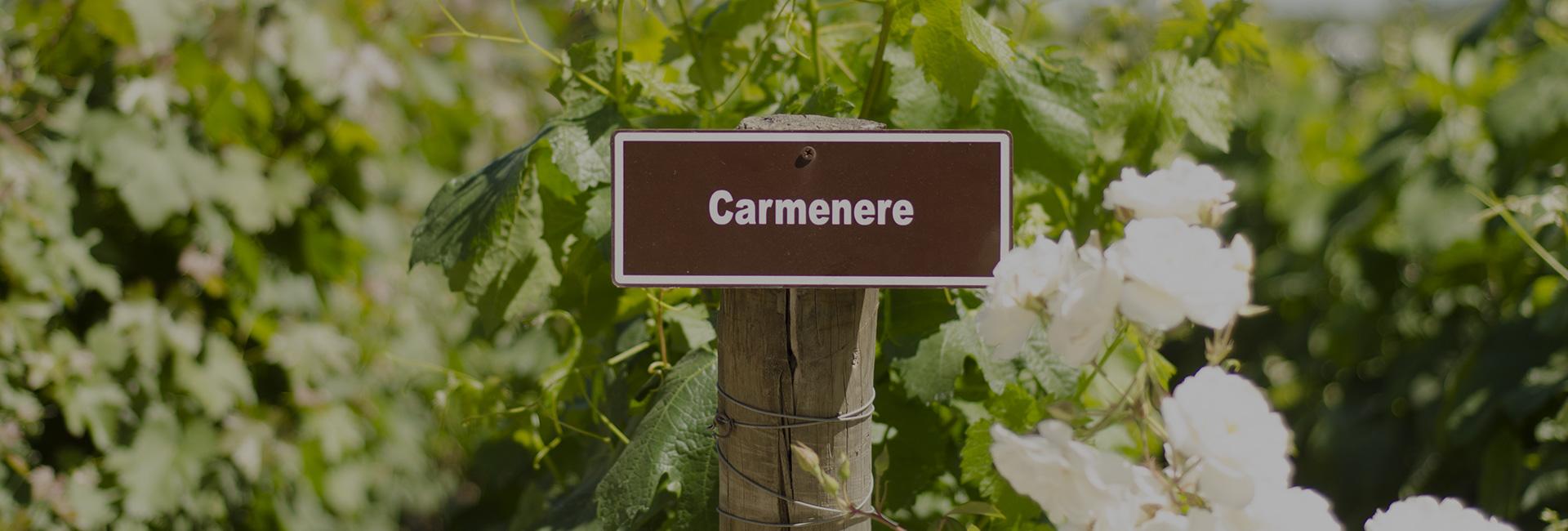 Colchagua Wineries vines
