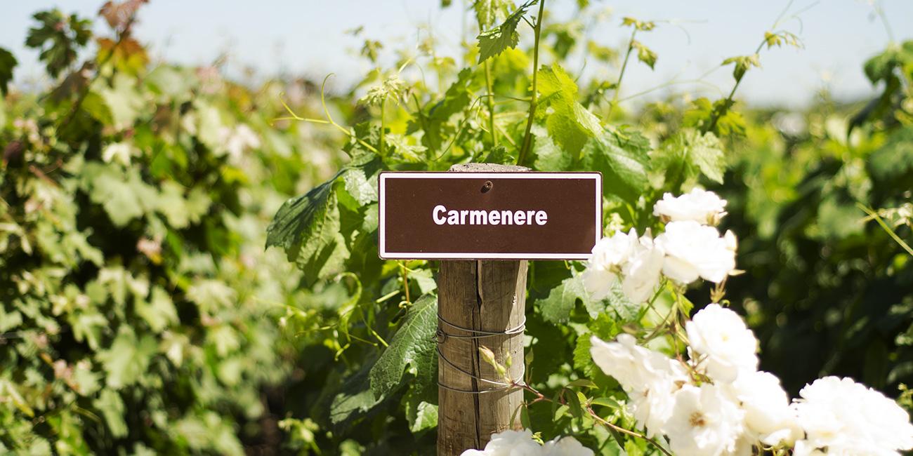 Colchagua Wineries Carmenere vines